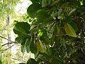 Coffea liberica (5594972157).jpg