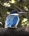Collared Kingfisher Todiramphus chloris by Dr. Raju Kasambe DSCN0915 (42).jpg