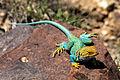 Collared Lizard (9474258012).jpg