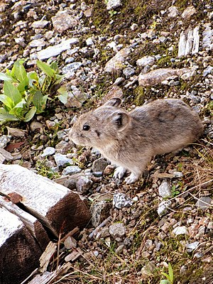 Pika - Collared pika on Hatcher Pass, Alaska