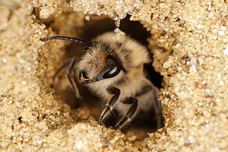 Colletes - Colletes cuniculariusin nest entrance