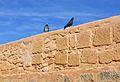 Coloms sobre la muralla de l'albacar d'enmig, castell de santa Bàrbara, Alacant.JPG