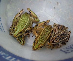 Northern leopard frog - Two burnsi morphs, a green morph, and a brown morph of the northern leopard frog