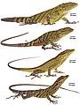 Color variation in Anolis dracula (10.3897-zookeys.794.26936) Figure 5.jpg