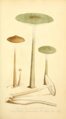 Coloured Figures of English Fungi or Mushrooms - t. 48.png