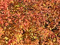 Colourful leaves - panoramio.jpg