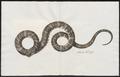 Coluber buccatus - kop - 1734-1765 - Print - Iconographia Zoologica - Special Collections University of Amsterdam - UBA01 IZ12000182.tif