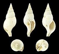 Colus gracilis 01.JPG