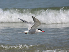 Common-Tern.jpg
