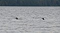 Common Loons (Gavia immer) - Algonquin Provincial Park 2019-09-20.jpg