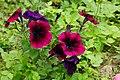 Common Petunia 矮牽牛 - panoramio.jpg