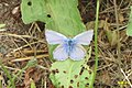 Common blue m. (NH) (10975924086).jpg