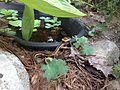 Common garter snake (Thamnophis sirtalis).jpg