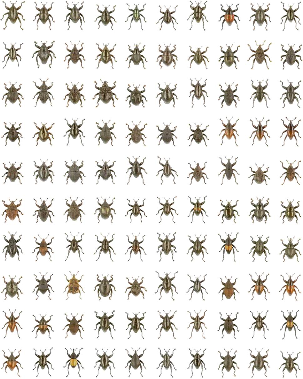 Compilation of 100 Trigonopterus species - 1742-9994-10-15-3