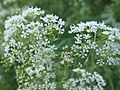 Conium maculatum inflorescence (02).jpg