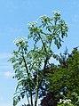 Conium maculatum inflorescence (16).jpg