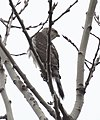 Cooper's Hawk (Accipiter striatus) (32109579690).jpg