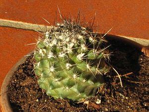 Copiapoa - Copiapoa humilis var. tenuissima