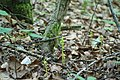 Corallorhiza trifida Fruchtstände.jpg