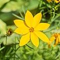 Coreopsis verticillata in Jardin des 5 sens (1).jpg
