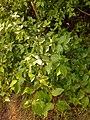 Cornus mas, familija Cornaceae 02.jpg
