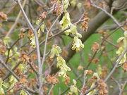 Corylopsis spicata1.jpg