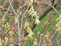 Corylopsis spicata1