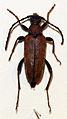 Corymbia rubra (10806047525).jpg