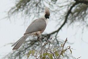 Nacktkehl-Lärmvogel in der Serengeti