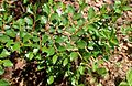 Cotoneaster cochleatus kz2.JPG