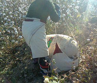 Cotton production in Uzbekistan -  A patriot volunteering to harvest cotton