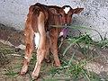 Cow calf-1-selvapuram-veerapandy-coimbatore-India.jpg
