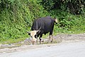 Cow in Bhutan.jpg