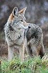 Coyote by Rebecca Richardson.jpg