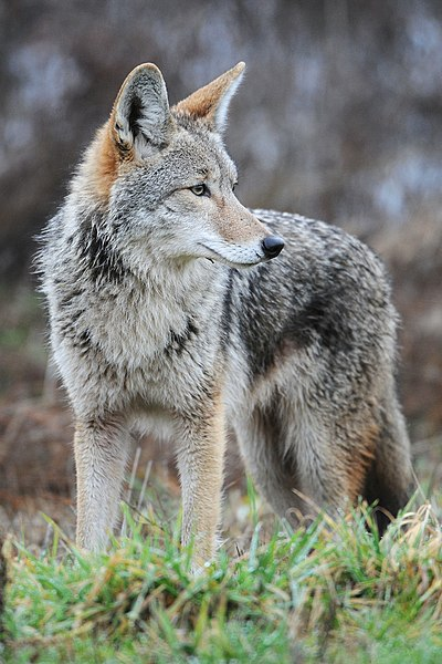 File:Coyote by Rebecca Richardson.jpg