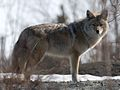 Coyote in Canada.jpg