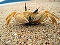 Crabe madagascar.jpg