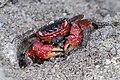 Crabs of Seychelles 01.jpg