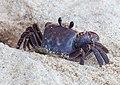 Crabs of Seychelles 04.jpg