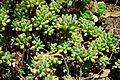 Crassula ovata Baby Jade, Jade Plant სქელფოთოლა.jpg