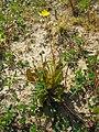 Crepis tectorum plant (01).jpg
