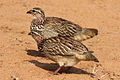 Crested Francolin, Dendroperdix sephaena at Borakalalo National Park, South Africa (9937833963).jpg