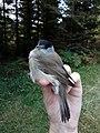 Crnoglava grmuša (Sylvia atricapilla), Eurasian blackcap male.jpg