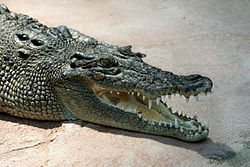 Crocodile Crocodylus-porosus amk2 without Spot.jpg