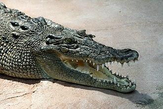 Black Jungle Conservation Reserve - Image: Crocodile Crocodylus porosus amk 2 without Spot
