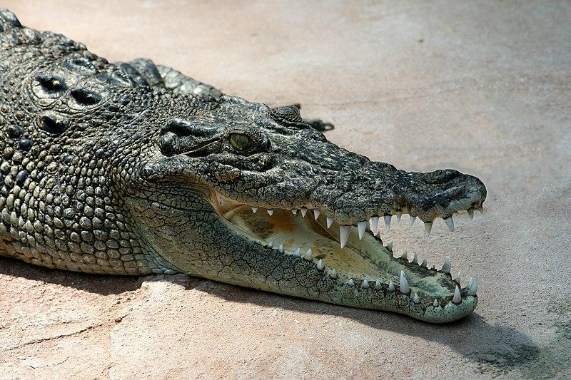 https://commons.wikimedia.org/wiki/File:Crocodile_Crocodylus-porosus_amk2_without_Spot.jpg