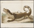 Crocodilus vulgaris - 1700-1880 - Print - Iconographia Zoologica - Special Collections University of Amsterdam - UBA01 IZ12200074.tif