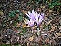 Crocus nudiflorus01.jpg