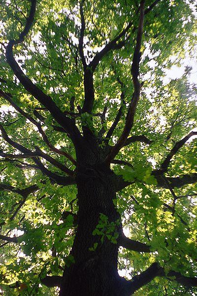 Archivo: ramas torcidos de Quercus robur.jpg