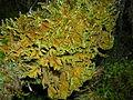 Ctenidium molluscum (Hedw.) Mitt.-Hřebenitka měkkounká1.jpg